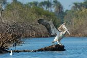 Young Pink-backed Pelican Stretching Its Wings In The Mangroves