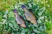 Large Tench Lying On The Tufts Of Nettle Outdoor