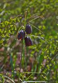 Flowers Shoots Russian Grouse (fritillaria Ruthenica).