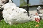 foto of chicken-wire  - Chicken in the garden is on the grass - JPG