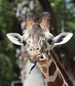 image of long tongue  - A Zoo Giraffe Sticks Out its Very Long Tongue - JPG