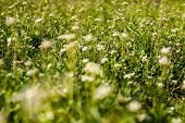 Meadow With Shepherd's-purse Flowers