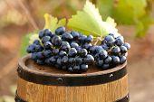 Grape on barrel, outdoors