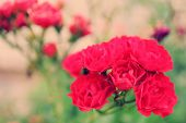 Beautiful roses in garden