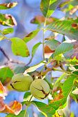 image of walnut-tree  - ripe walnut on tree in autumn time - JPG