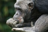 foto of jimmy  - A photo of a beautiful old chimp - JPG