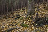 Mysterious Beautiful Pinewood Forest With Mossy Stones