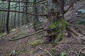 pic of irish moss  - Mysterious beautiful pinewood forest with mossy stones - JPG