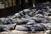 Alligators in pit at reptile farm in Florida