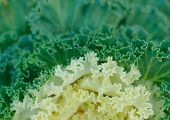 Ornamental cabbage detail