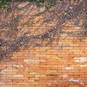 Abstract Background Of Dry Ivy On The  Wall