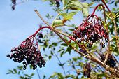 picture of elderberry  - Growing elderberry fruits on a background of blue sky - JPG