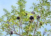 stock photo of elderberry  - Growing elderberry unripe fruits on a background of blue sky - JPG