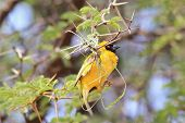 Southern Masked Weaver - Wild Bird Background - Nesting Gold