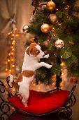 Dog Jack Russell Terrier. Puppy. Christmas, holiday, christmas