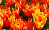 Beautiful Red-yellow Tulips Close-up.