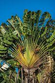 Ravenala Or Travellers Tree, Madagascar poster