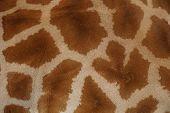 Real giraffe fur - skin close-up