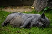 Black pig lying and sleeping