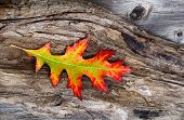 image of driftwood  - Closeup image of a large single vibrant autumn oak leaf in middle of aged driftwood - JPG