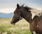 image of paint horse  - Paint horse in pasture with wind blowing his mane