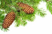 Coniferous branches and cones white background