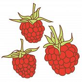 Ripe Raspberry Isolated On White Background. Sketch, Hand-drawn. Vector
