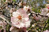 pic of orchard  - Spring bloom of almond trees in orchard Israel - JPG