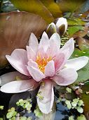 foto of hydrophytes  - A bud from a water lily is standing in the garden pond - JPG