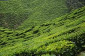 stock photo of cameron highland  - Green Tea plantation in Cameron Highland, Malaysia. Cameron Highland is the most famous tea plantation in Malaysia. It is located in Pahang State in Malaysia.
