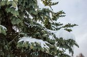 picture of blue spruce  - The spruce branches covered with snow blue - JPG