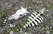 picture of cow skeleton  - Skull and part of the backbone of a cow on ground - JPG
