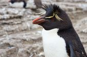 foto of falklands  - Rockhopper Penguin  - JPG