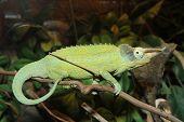 image of cytoplasm  - Green Horned Chameleon poses on rainforest branch - JPG