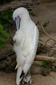 stock photo of booby  - An albino blue - JPG
