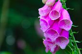 picture of digitalis  - Close up of foxglove bells flowers in garden - JPG