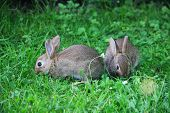 stock photo of wild-rabbit  - Two cute gray wild baby rabbits in grass - JPG
