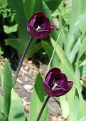 two purple tulips