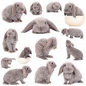 stock photo of dwarf rabbit  - Grey lop - JPG