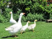stock photo of baby goose  - family of four geese with two baby goslings walking about on the grass - JPG