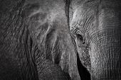 foto of gentle giant  - A close cropped shot of an elephants face - JPG