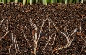 picture of humus  - White young roots of the green grass in the organic soil - JPG