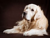 pic of golden retriever puppy  - purebred golden retriever dog on brown background - JPG