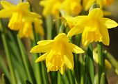 picture of daffodils  - A close - JPG