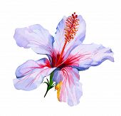 picture of hibiscus  - single hibiscus flower painted in watercolor - JPG