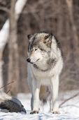 pic of timber  - A Timber wolf in a winter scene - JPG