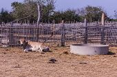 foto of female buffalo  - Thai Cows In Farm  - JPG