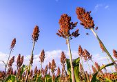 stock photo of sorghum  - Close Up Of Sorghum In The Field - JPG
