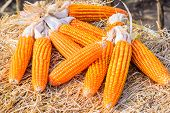 picture of corn stalk  - Dried corn on straw in a corn field - JPG