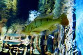image of green algae  - Big bright fish among the green algae in the water - JPG